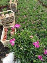 宿根花卉的養護方法宿根花卉的生長習性