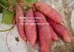 鶴崗商薯19紅薯供應價鶴崗商薯19紅薯采購價
