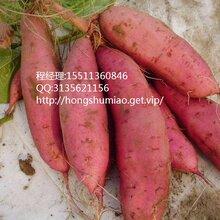 伊春商薯19红薯供应价伊春商薯19红薯采购价图片