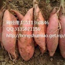 温州龙薯9红薯报价温州龙薯9红薯价格