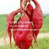 广西烟薯25红薯产地广西烟薯25红薯合作社