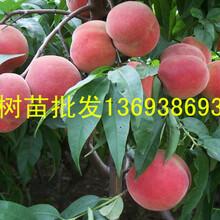 桃树苗价格,占地桃树苗价格,桃树苗多少钱一颗,桃树苗批发,南阳桃树苗批发