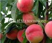 河南那里批发占地苗桃树苗多少钱一颗桃树苗批发价格是多少钱图片