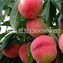 河南那里批发占地苗桃树苗多少钱一颗桃树苗批发价格是多少钱