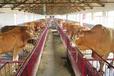 魯西黃牛養殖技巧北京英美爾30%魯西黃牛濃縮飼料