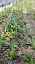 白芨的种植环境和管理