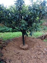 龙泉五星枇杷基地成都枇杷低分枝枇杷大量供应枇杷树价格