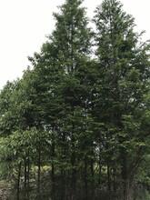 成都精品水杉基地温江最大水杉直销6-18公分不偏冠树型好优质黑土图片