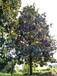 成都精品广玉兰分枝1.5-2.5左右树型优美低价格广玉兰19公分