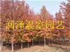 栎树小苗北美栎树小苗白栎小苗橡子树小苗北美橡子树小苗