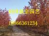 北京加拿大糖槭基地江苏加拿大槭基地彩叶豆梨秋火焰