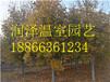 北京国内精品彩叶树小苗-大连北美观赏梨小苗基地