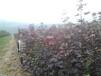 山西大叶红枫供应