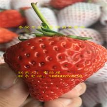 2018年红颊草莓苗报价图片