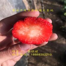 2018年拉松六号草莓苗那里有卖的几毛钱一棵?图片