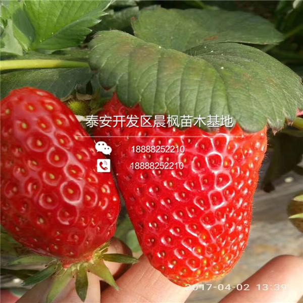 露天草莓苗章姬草莓苗最新品种
