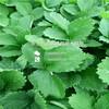 河北可以种植什么品种的红宝石草莓苗、红宝石草莓苗种植技术一亩地栽植多少棵
