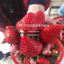 2018年甜查理草莓苗多少钱甜查理草莓苗什么价格图片