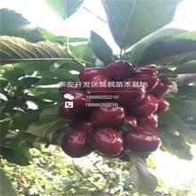 乔化樱桃苗多少钱一棵、拉宾斯樱桃苗供应价格多少图片