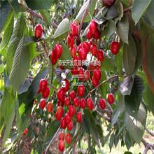 山东樱桃苗多少钱一棵、宾颖樱桃苗直销基地价格多少图片