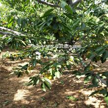 组培樱桃苗多少钱一棵、红灯樱桃树行情价格多少图片