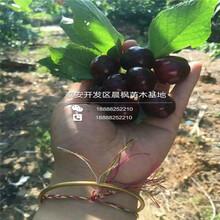 组培樱桃苗多少钱一棵、福晨樱桃苗对外出售价格是多少图片
