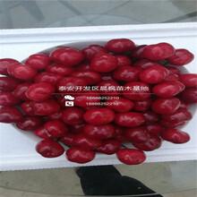 乔化樱桃苗多少钱一棵、红灯樱桃树出售价格图片