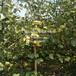阿巴特西洋梨苗報價價格、阿巴特西洋梨苗報價價格