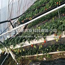 安庆美王一号草莓2代苗品种图片