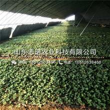 太原圣安得瑞斯草莓2代苗哪卖图片