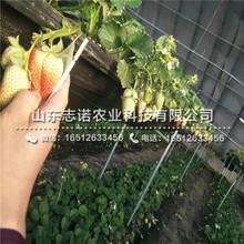淄博香蕉草莓产量苗哪里便宜图片