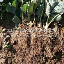 丽水法兰地草莓基质苗出售价位图片