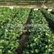 云林县露天草莓基质苗中心