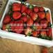新北红颜草莓1代苗供应基地
