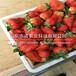 桃园县中莓4号草莓2代苗基地