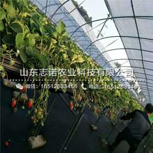 石家庄中莓6号草莓1代苗市场图片