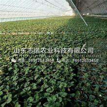 宝坻鲁旺草莓2代苗一棵图片