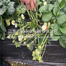 荆州白草莓草莓2代苗多少一棵图片