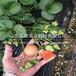 新北爱莎草莓产量苗行情报价
