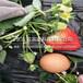 澎湖县晚熟草莓苗多少钱一棵