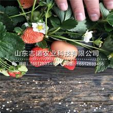 绍兴明宝草莓一代苗品种图片