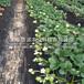 台东县太空莓草莓生产苗哪里便宜