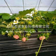 巫山女峰草莓产量苗介绍图片