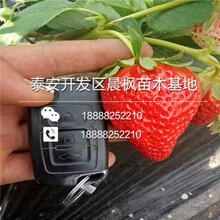 生产草莓一代苗批发,新品种生产草莓一代苗批发价格图片