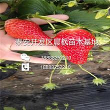 山东妙香7号草莓三代苗、山东妙香7号草莓三代苗价格图片