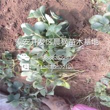 红夏草莓基质苗批发,新品种红夏草莓基质苗批发价格图片