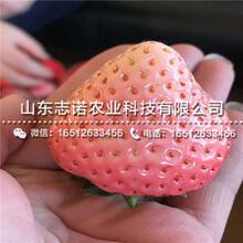 京藏香草莓产量苗出售,京藏香草莓产量苗批发基地图片