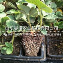 新品种中莓4号草莓三代苗、新品种中莓4号草莓三代苗图片