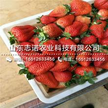 新品种京郊小白草莓3代苗、新品种京郊小白草莓3代苗图片