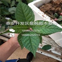 大俄8樱桃树苗图片